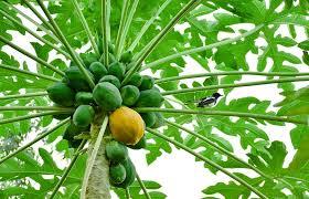 papaya, yellow papaya, green papaya,  Vitamin C